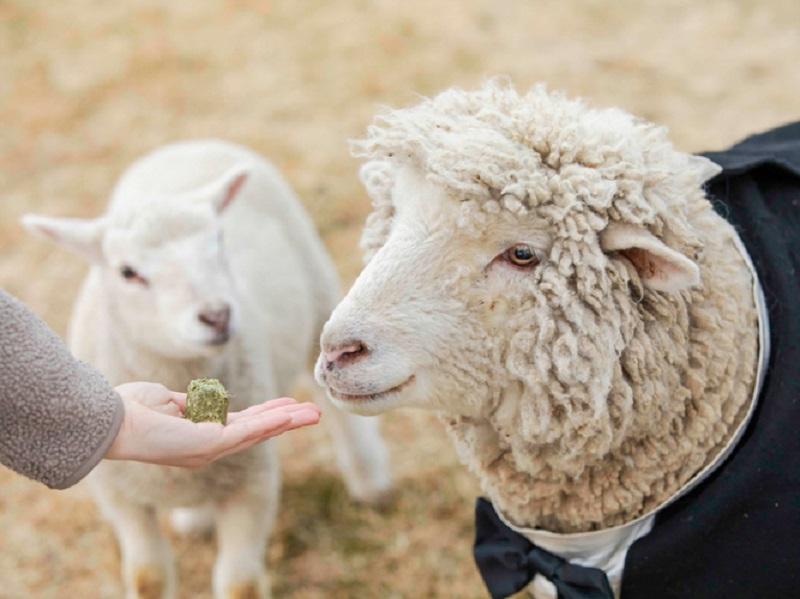 羊 牧草キューブ