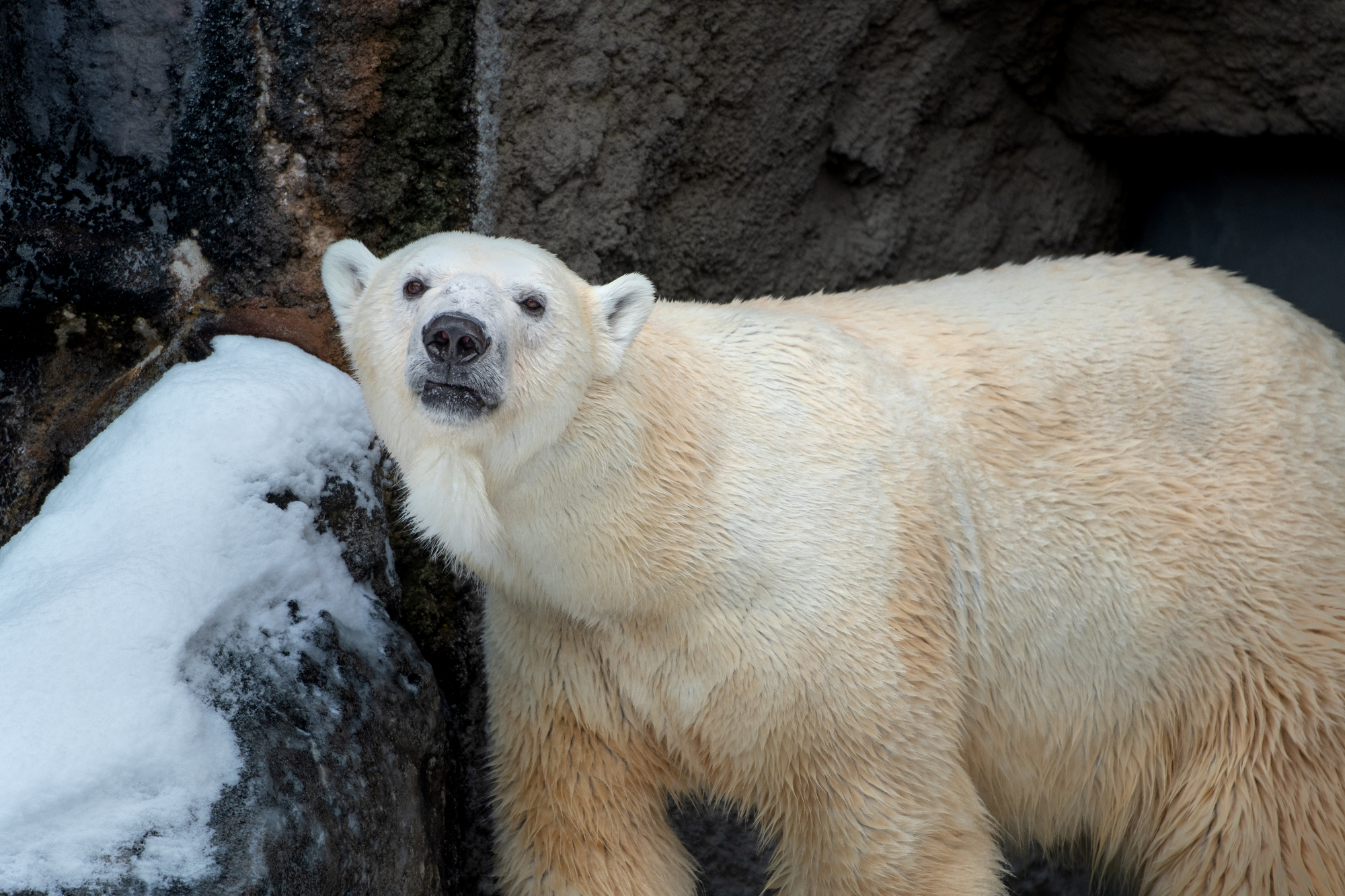 冬の動物園のシロクマ / 北海道旭川市
