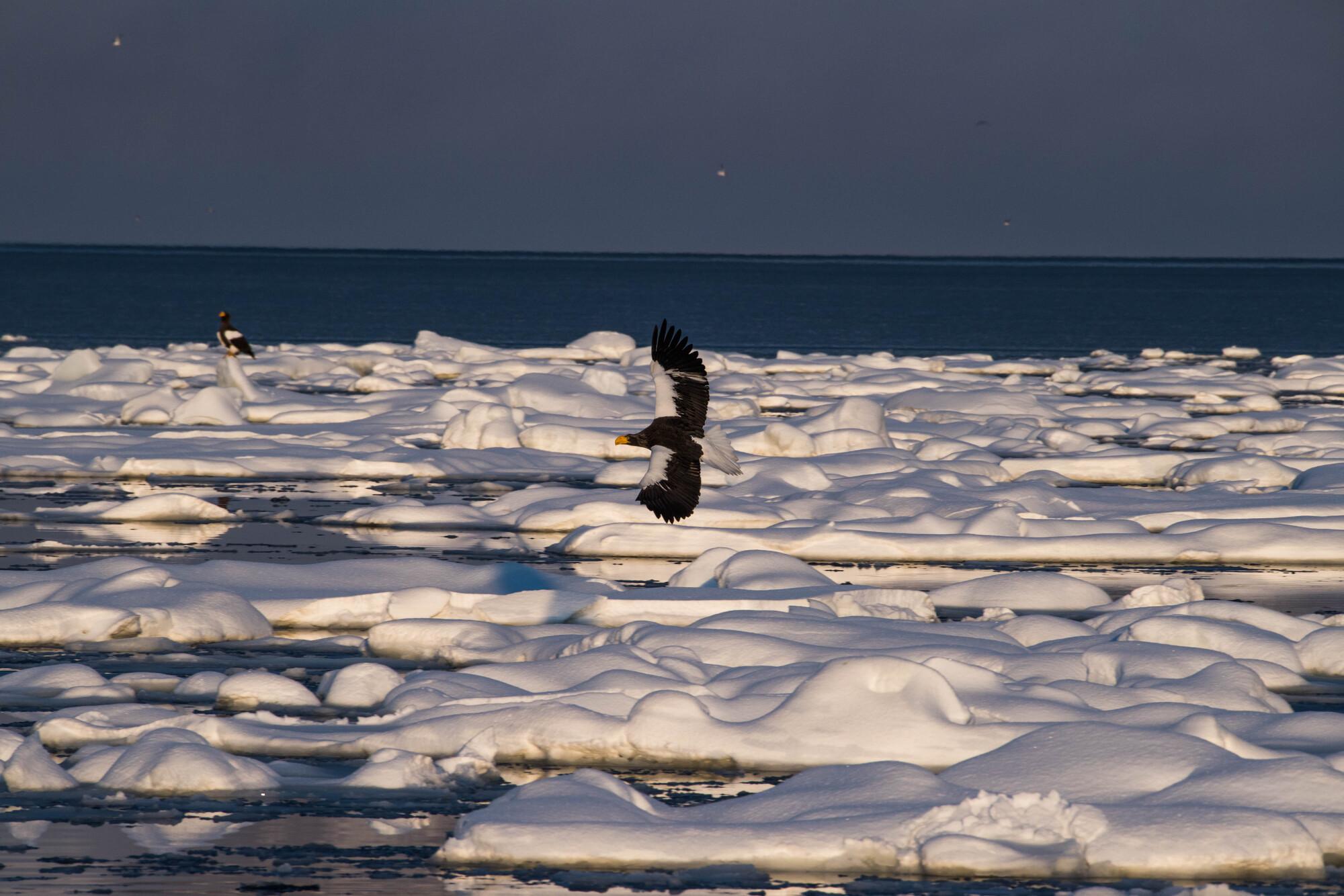 朝の流氷原を飛翔するオオワシ