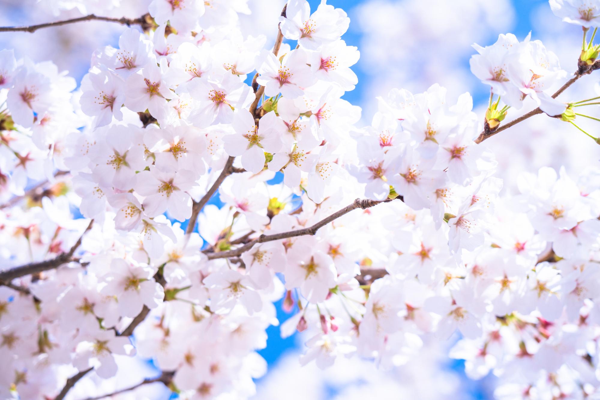 開花 2021 桜 予想