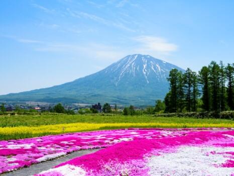 羊蹄山と芝桜