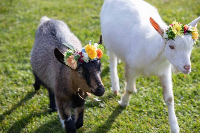 花飾りをつけたヤギ