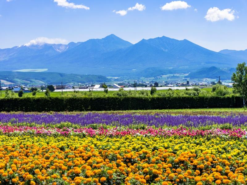 富良野・花人街道の花畑