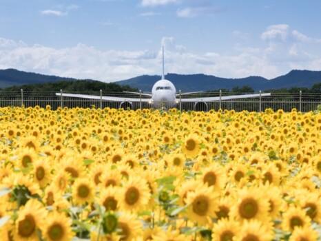 女満別空港のひまわり畑