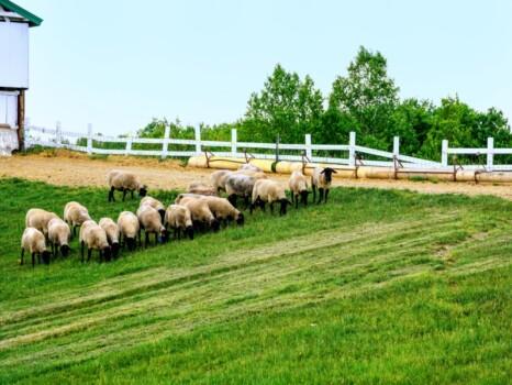 放牧された羊  羊と雲の丘 士別市