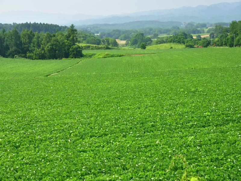 快晴の北海道厚沢部町鶉地区で青々と茂った大豆畑の夏の風景を撮影