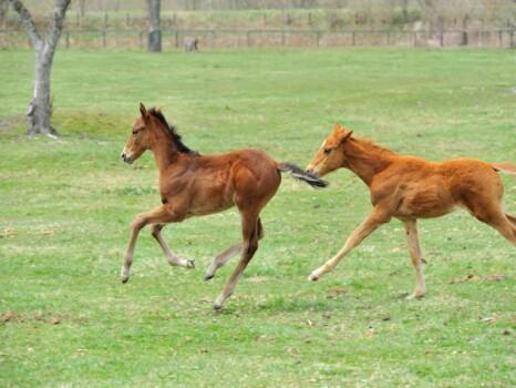 美しいサラブレッドが牧場で遊ぶ