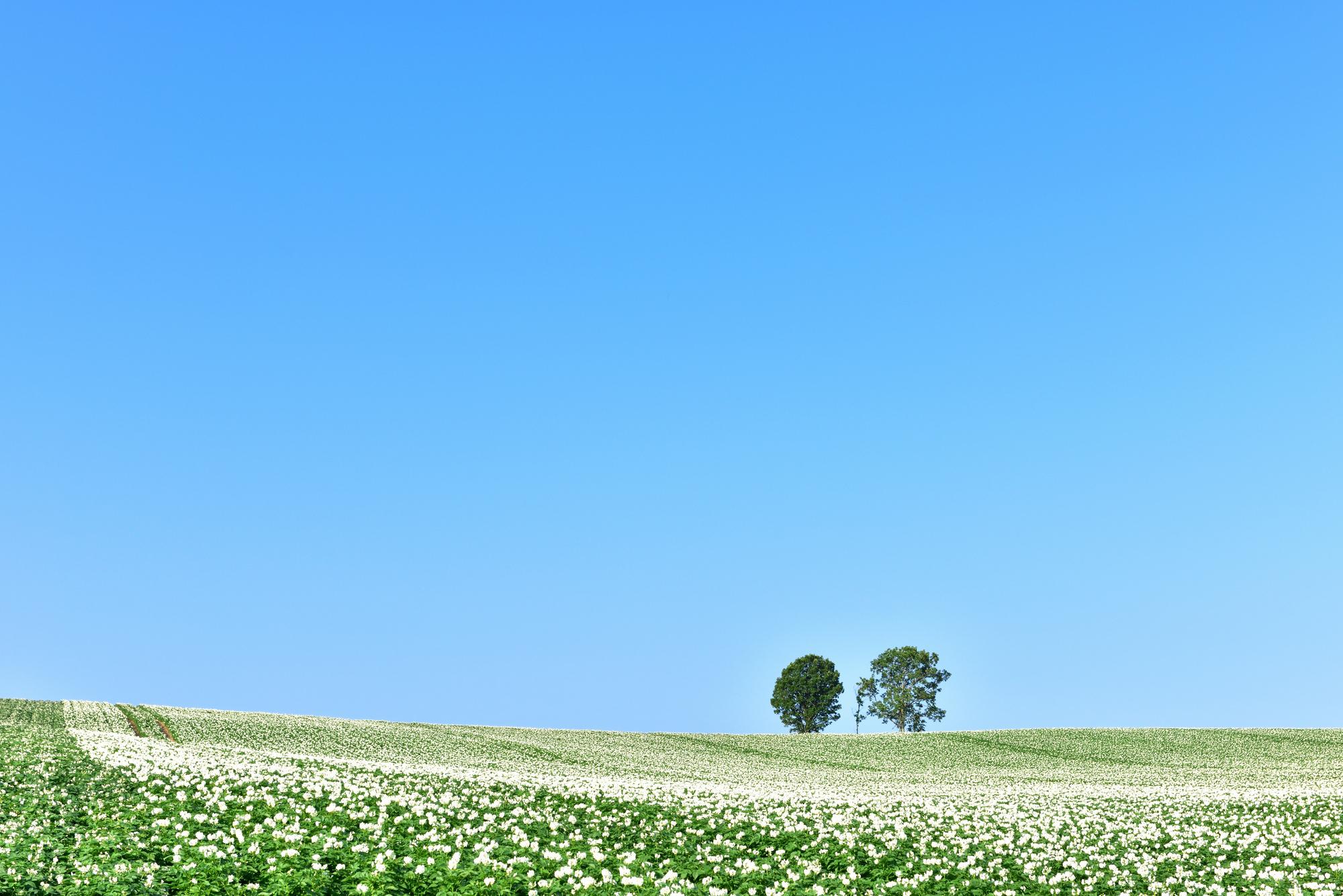 親子の木とジャガイモ畑