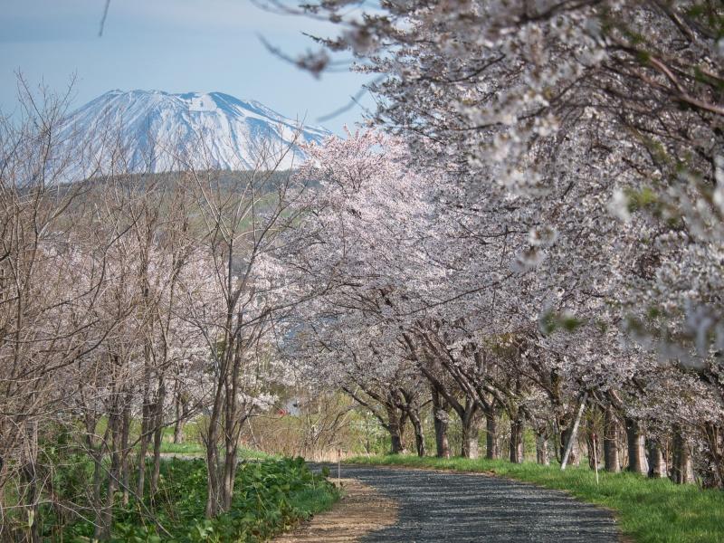 堀株川の桜並木