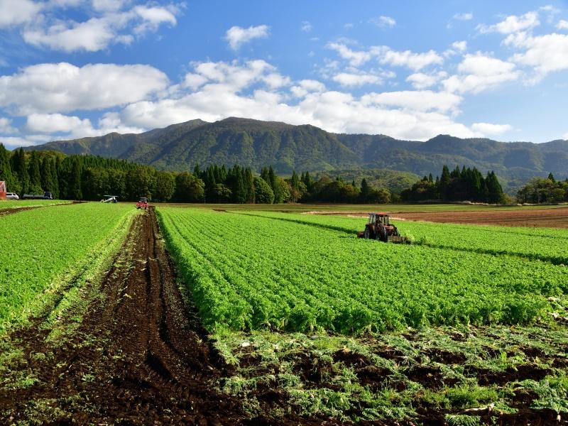 北海道乙部町で秋大根の収穫作業風景を撮影