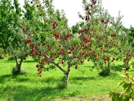 北海道仁木町で赤く実りを迎えたリンゴ畑の風景を撮影