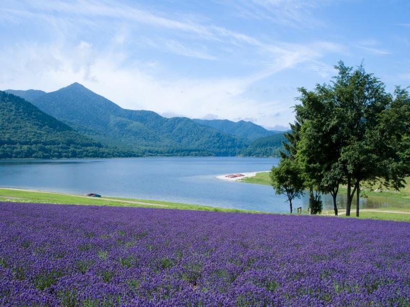 北海道の湖とラベンダー畑と青空と白い雲