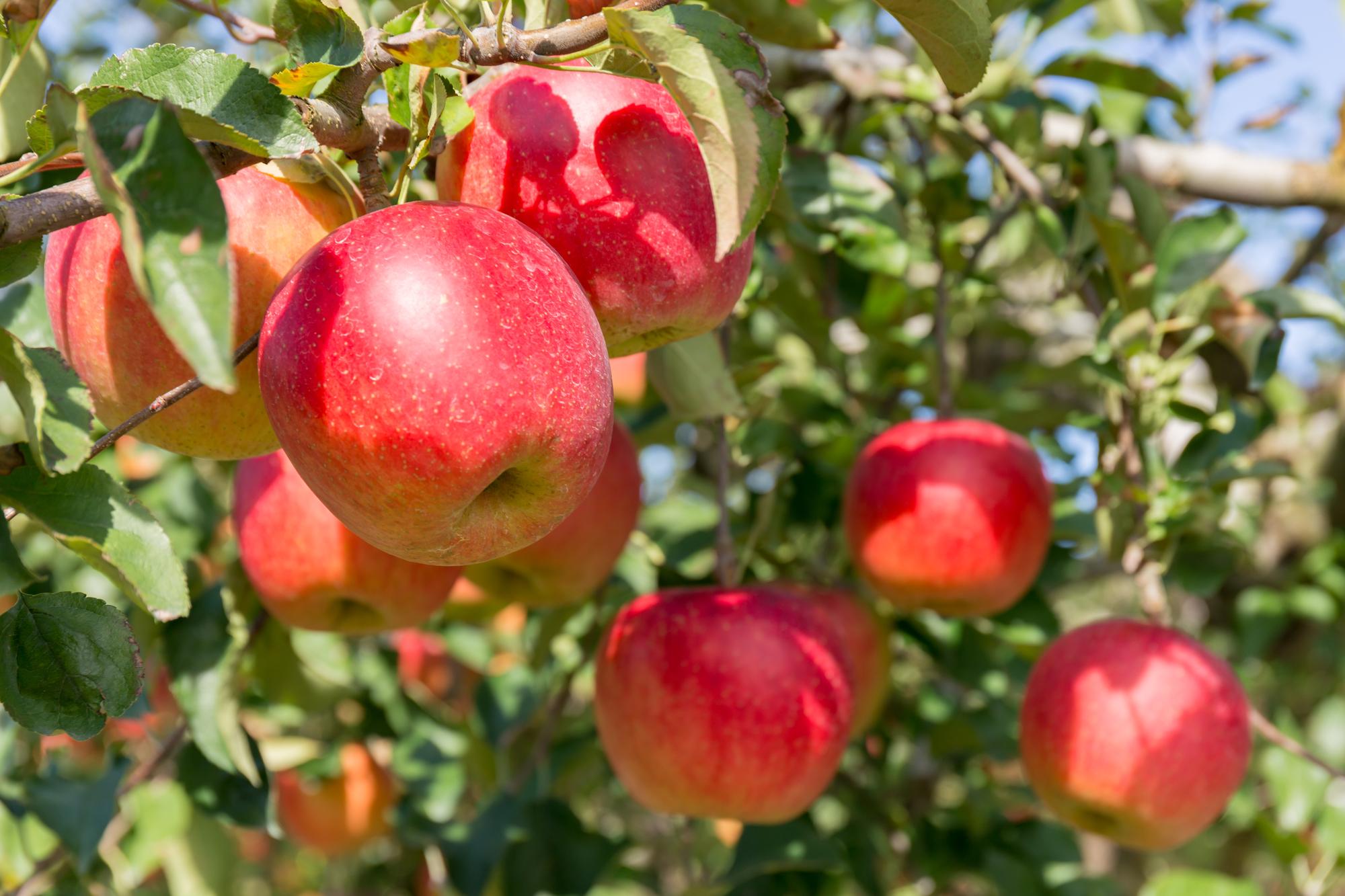 りんご 10月