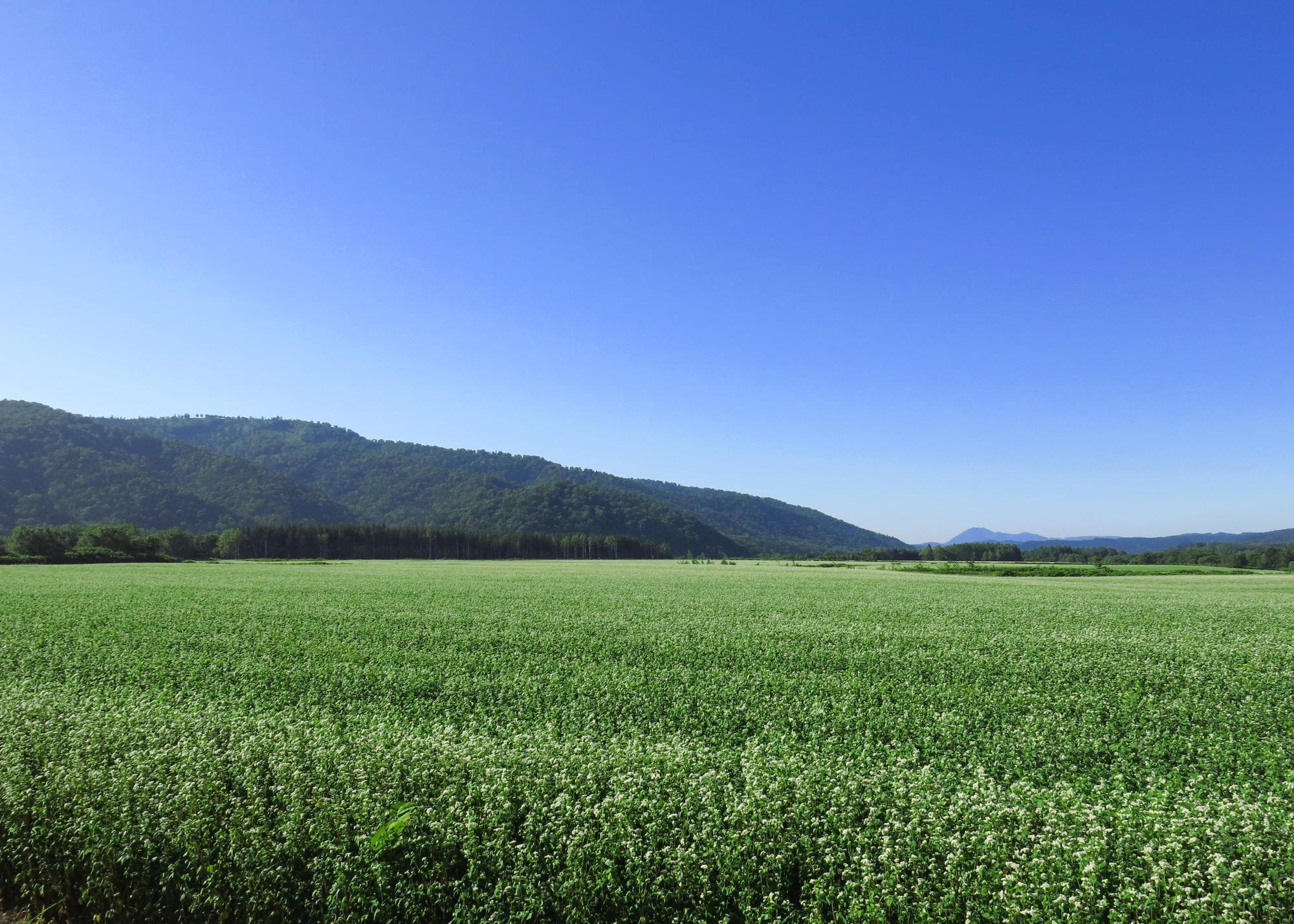 音威子府村のそば畑