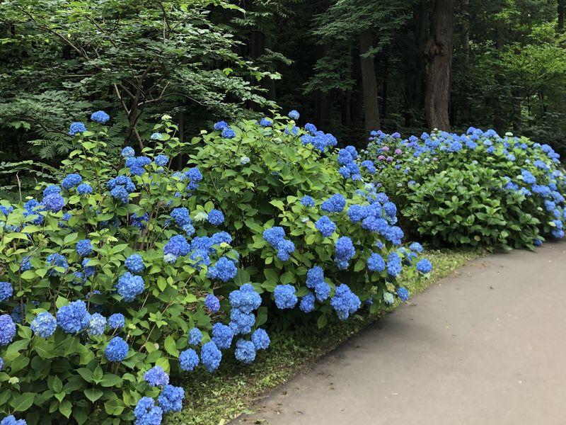 紫陽花 円山公園