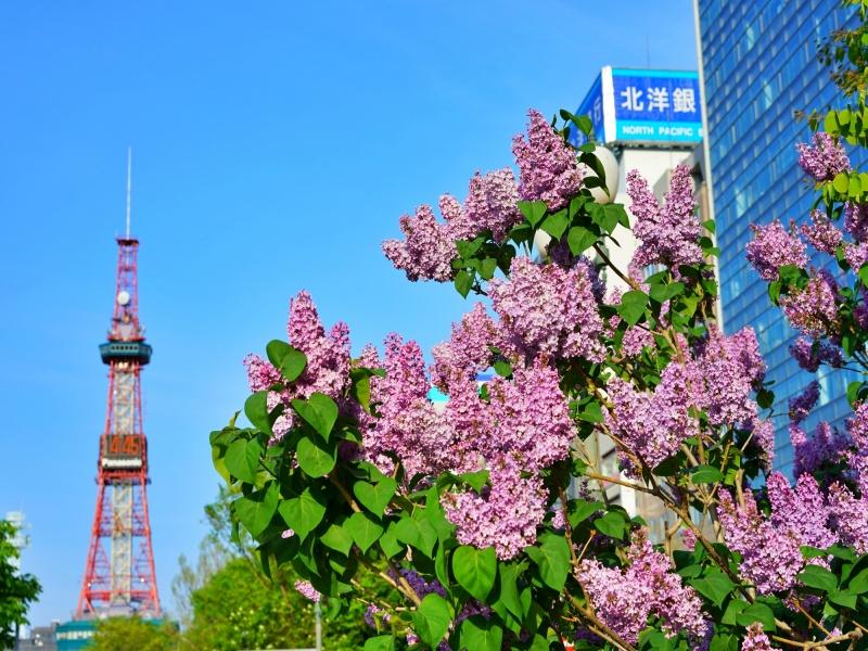 札幌大通公園のライラック