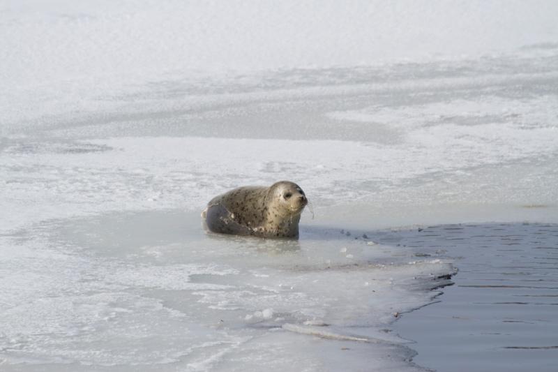 結氷した網走湖にいるアザラシ