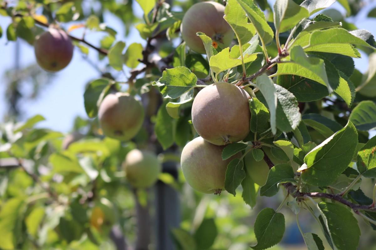 八紘学園 果樹園 リンゴ