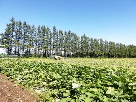 広大なかぼちゃ畑