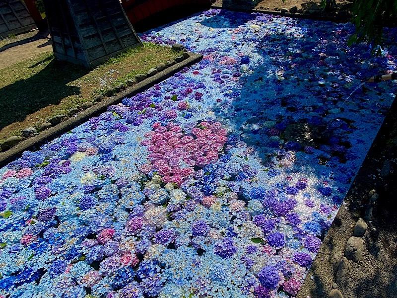 浮き紫陽花