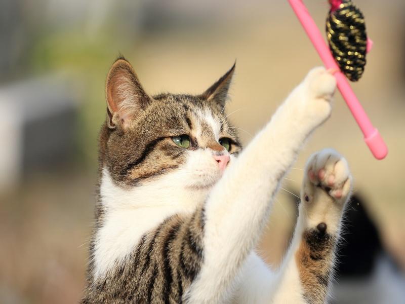 猫 野生 おもちゃ 遊ぶ