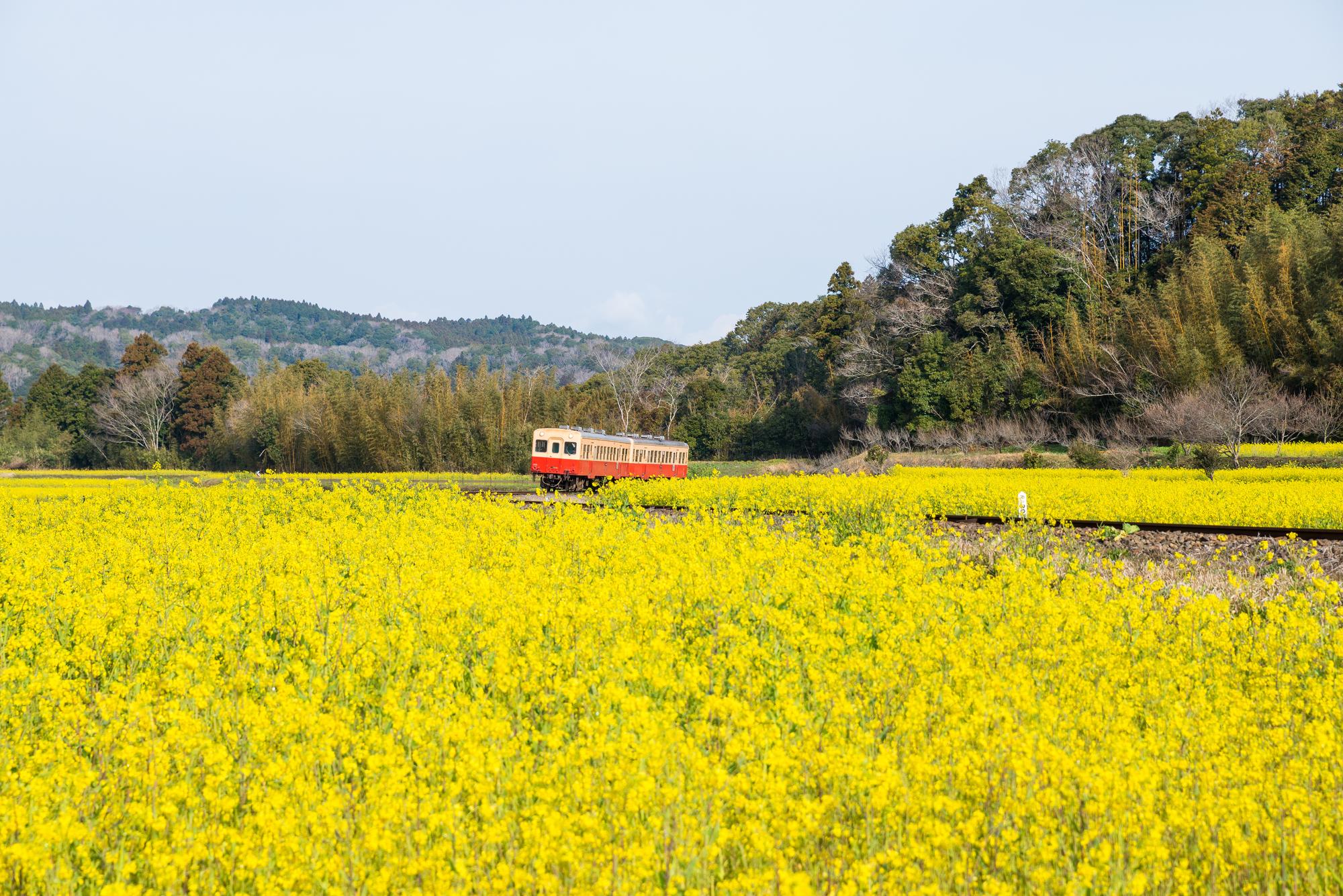 小湊鉄道と石神の菜の花畑 (千葉県市原市石神) 2017年4月撮影