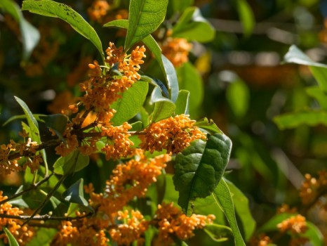 Fragrant orange-colorer olive, Osmanthus fragrans, Japanese Kinmokusei