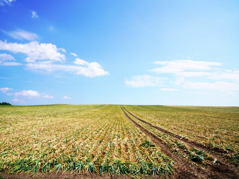 収穫迎える玉葱畑