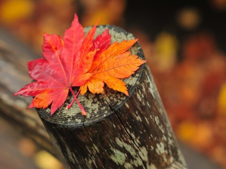 Fall colored leaves on a fence post with blurred out leaves on the ground in the background of the picture in Hokkaido, Japan.
