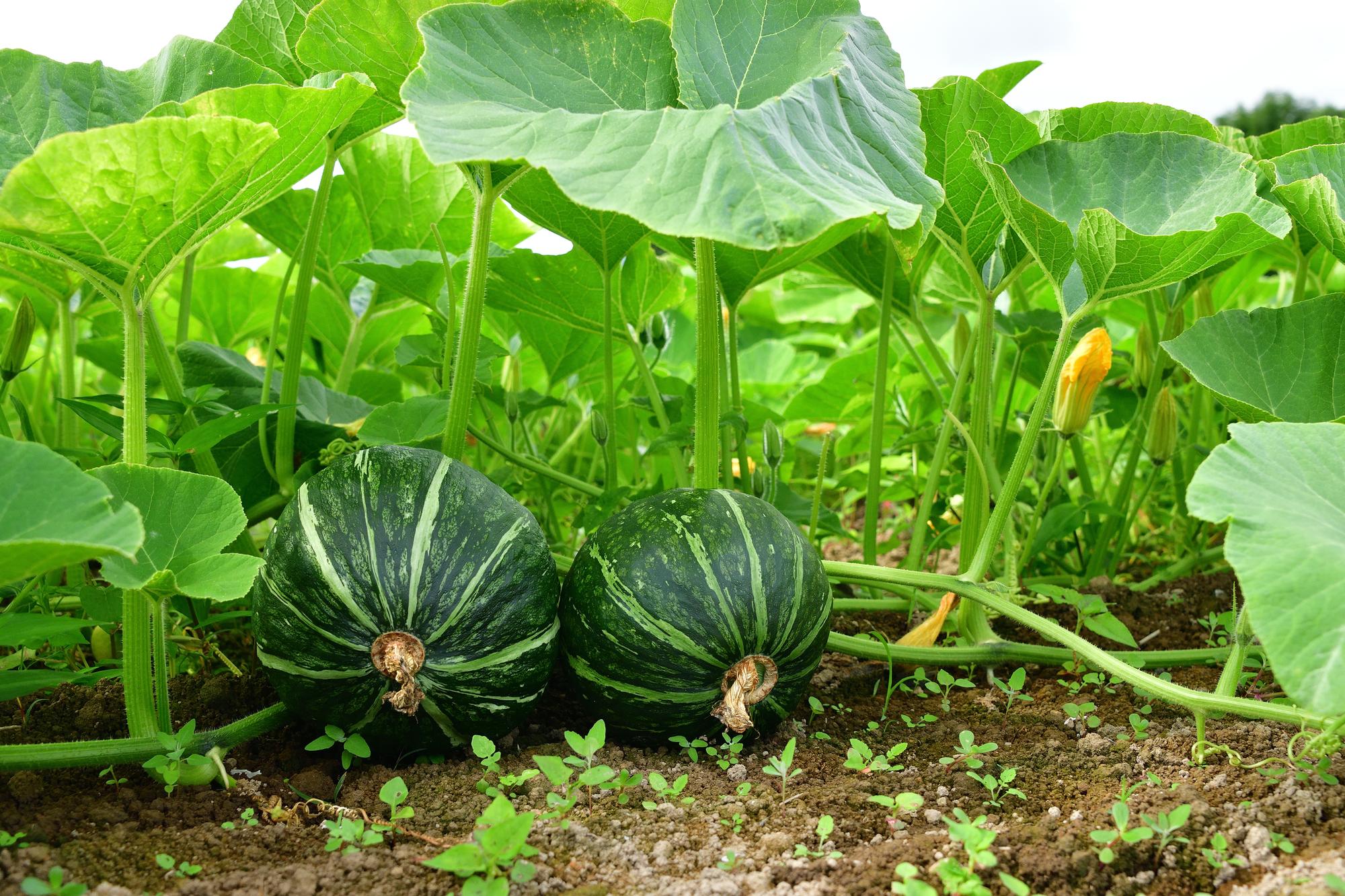 かぼちゃ畑