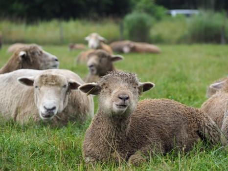 のんびりしている羊